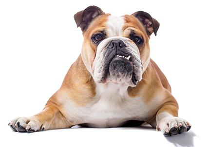 bulldog-laying-down